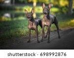 american hairless terriers  | Shutterstock . vector #698992876
