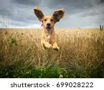 Stock photo funny looking golden cocker spaniel dog running through a field of wheat caught in mid flight with 699028222