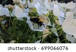 Bumblebee Resting On White...