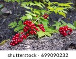 hawthorn berry  a large genus... | Shutterstock . vector #699090232