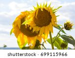 sunflowers in a field against a ... | Shutterstock . vector #699115966