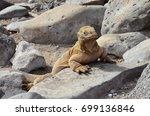 land iguana on santa fe island  ... | Shutterstock . vector #699136846