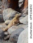 land iguana on santa fe island  ... | Shutterstock . vector #699136852