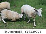 sheep suckling | Shutterstock . vector #699239776