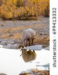 black rhino drinking at moringa ... | Shutterstock . vector #699413332