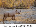 black rhino  diceros bicornis ... | Shutterstock . vector #699413356