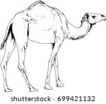 large camel drawn with ink on... | Shutterstock .eps vector #699421132