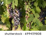 large bunches of black grapes... | Shutterstock . vector #699459808