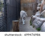 white tiger in the zoo walking... | Shutterstock . vector #699476986