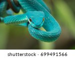 snake  blue viper on branch | Shutterstock . vector #699491566