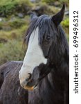 Small photo of Horse portrait (Equus ferus caballus)