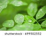 dew droplets on green leaves... | Shutterstock . vector #699502552