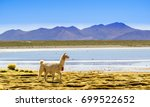 view on lama by lagoon in... | Shutterstock . vector #699522652