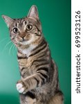 american bobtail on green... | Shutterstock . vector #699523126