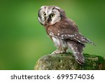 Boreal owl, Aegolius funereus, sitting on larch stone with clear green forest background. Forest bird in the nature habitat. Small bird with clear green background. Owl from Poland.