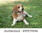 Cute Beagle Dog Lying On Green...