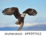 American Bald Eagle With Wings...