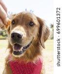 golden retriever park portrait    Shutterstock . vector #699601372