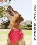 golden retriever park portrait    Shutterstock . vector #699601402