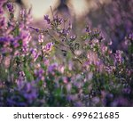 purple fields at the... | Shutterstock . vector #699621685