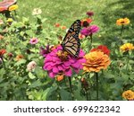 Monarch Butterfly Feasting On...