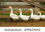 A flock of domestic white geese ...