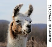 brown and white llama   close... | Shutterstock . vector #699637672