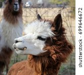 Small photo of Young Brown and White Alpaca - Close up photograph of a young brown and white alpaca in an enclosure with other alpacas and llamas. Selective focus on the alpaca's head features.
