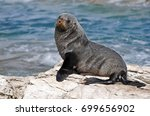 new zealand fur seal of the... | Shutterstock . vector #699656902