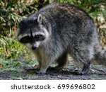 Small photo of Raccoon habituated to humans stands at the side of a busy trail.