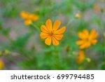 orange starburst flower... | Shutterstock . vector #699794485