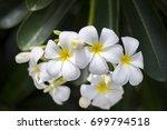 white flower plumeria flowers... | Shutterstock . vector #699794518