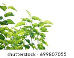 Mulberry Tree On A White...