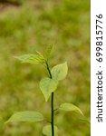 Small photo of Colubrina asiatica at garden