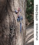 Small photo of A couple of male and female mwanza flat-headed rock agamas (Agama mwanzae) on a tree trunk in Serengeti National Park, Tanzania