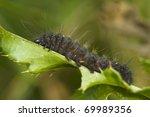 Small photo of Acronicta auricoma