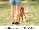 beauty hungarian vizsla... | Shutterstock . vector #700051078