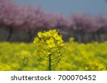 rape blossoms and honey bee   Shutterstock . vector #700070452
