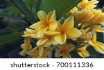 yellow plumeria flower in the... | Shutterstock . vector #700111336