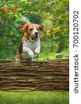 beagle dog jumping over the... | Shutterstock . vector #700120702