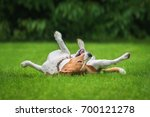Stock photo beagle dog having fun on the lawn in summer 700121278
