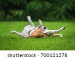 Beagle Dog Having Fun On The...