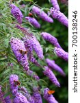 Blooming Butterfly Bush ...