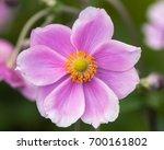 Japanese anemone  anemone...