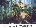 tomato. growing a tomato in a...   Shutterstock . vector #700189222