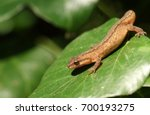 A Smooth Newt  also known as the Common Newt (Lissotriton vulgaris) climbing over an Ivy leaf.