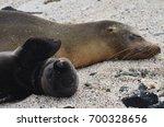 a newborn california sea lion...   Shutterstock . vector #700328656