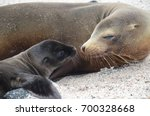 a california sea lion mother... | Shutterstock . vector #700328668