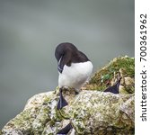 Small photo of Square close up portrait of razorbill (Alca torda)