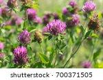 Red Clover Flowers Field